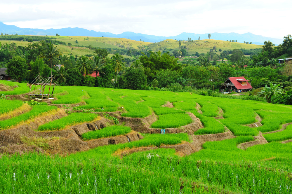 terraced rice field